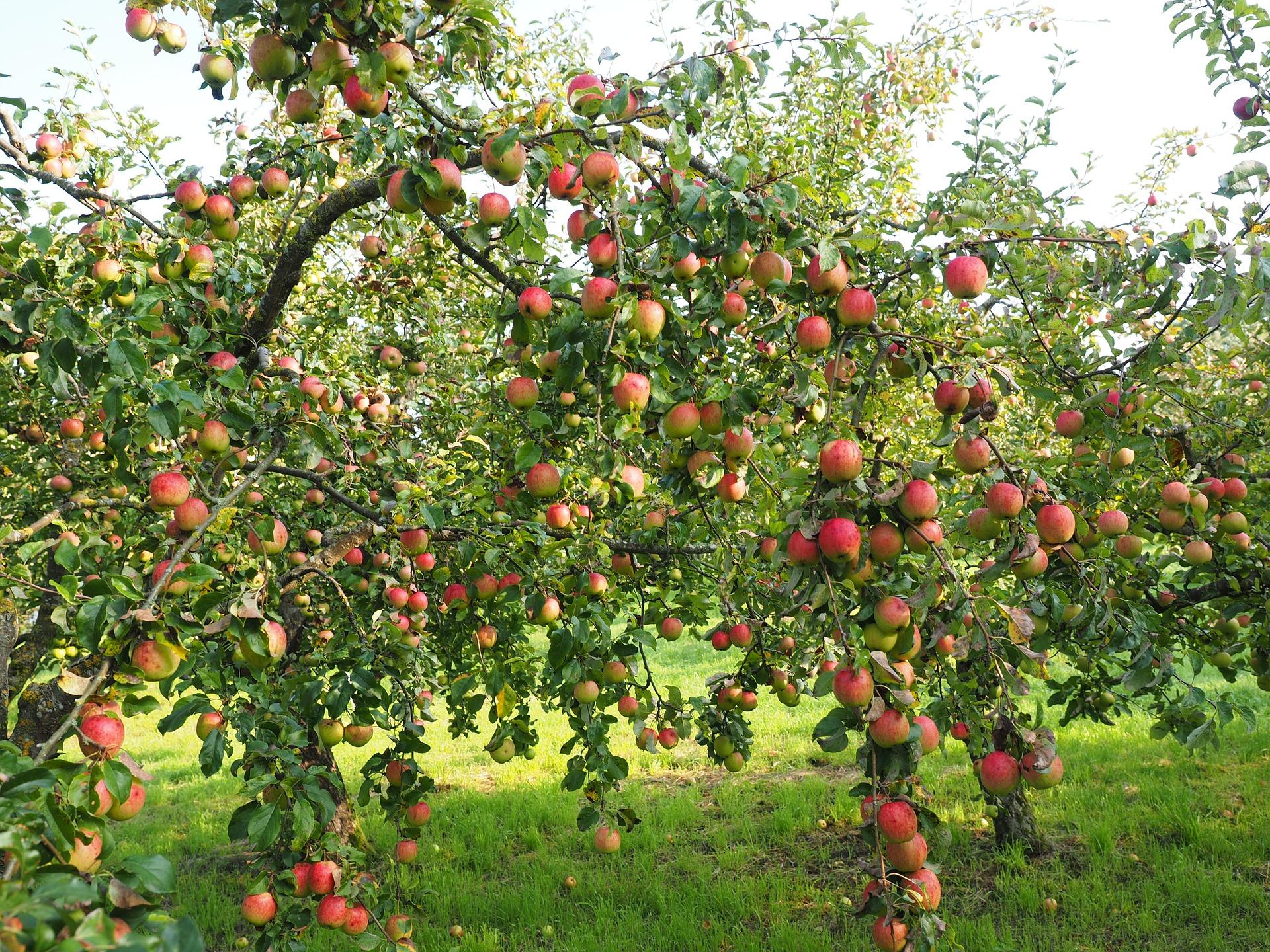 Яблоня мельба описание фото высота